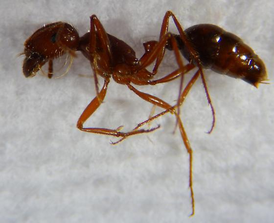 Solenopsis - Pogonomyrmex