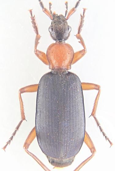 Beetle - Galerita janus - male