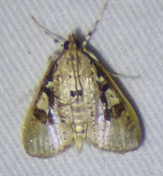 unknown moth - Palpita
