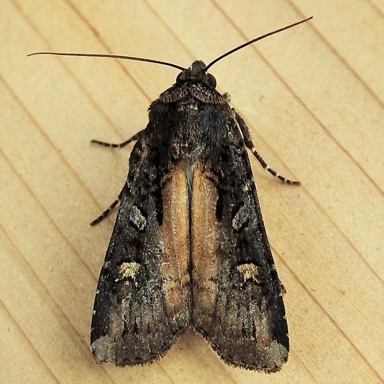 Noctuidae: Actebia fennica - Actebia fennica - male
