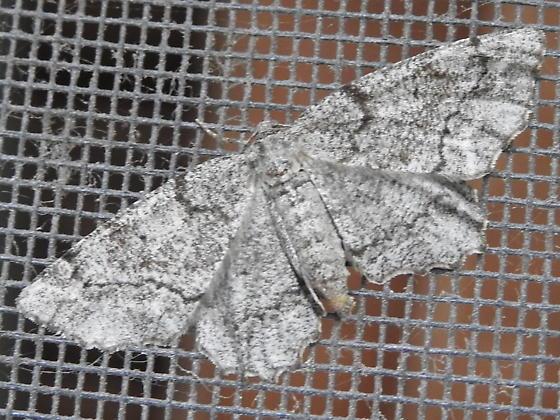 Pine Measuringworm moth (Hypagyrtis piniata) - Hypagyrtis piniata - female
