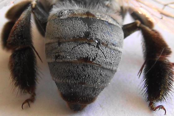 The Pale Bee (dorsal abdomen) - Centris pallida - female
