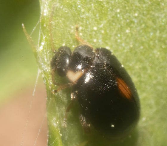 Lady beetle species I believe - Scirtes orbiculatus