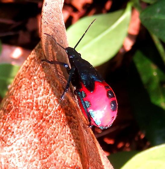 Florida predatory stink bug nymph - Euthyrhynchus floridanus