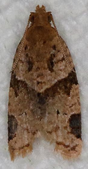 Clepsis peritana - Garden Tortrix - Hodges#3688 - Clepsis peritana