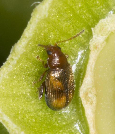 Toramus pulchellus? - Epitrix hirtipennis