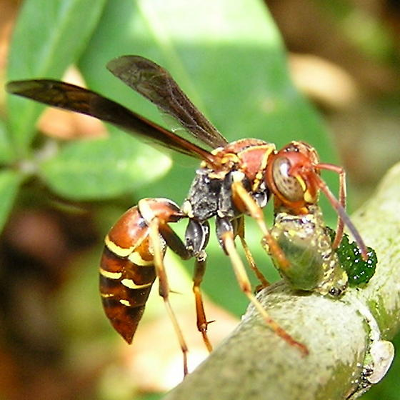 Is this a Polistes exclamans? - Polistes dorsalis - female