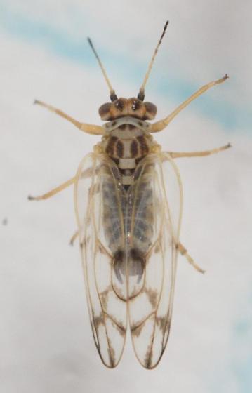 Small insect - Craspedolepta