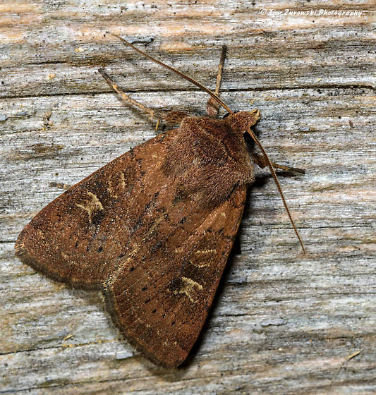 Unknown Moth - Xestia xanthographa