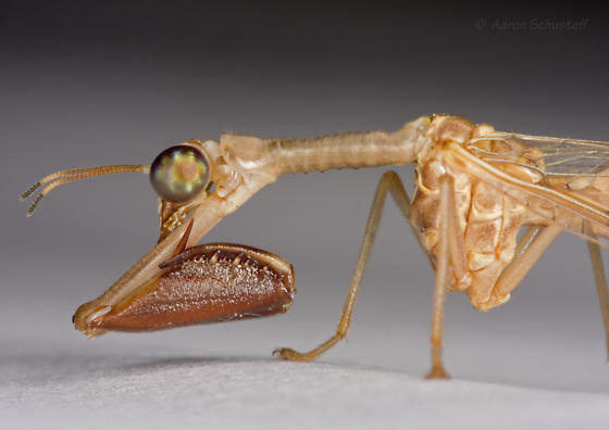 Arizona mantispid - Dicromantispa sayi