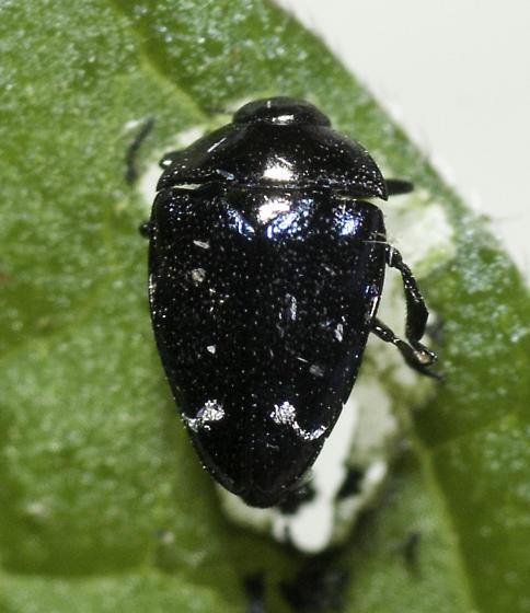 One final image - Pachyschelus purpureus