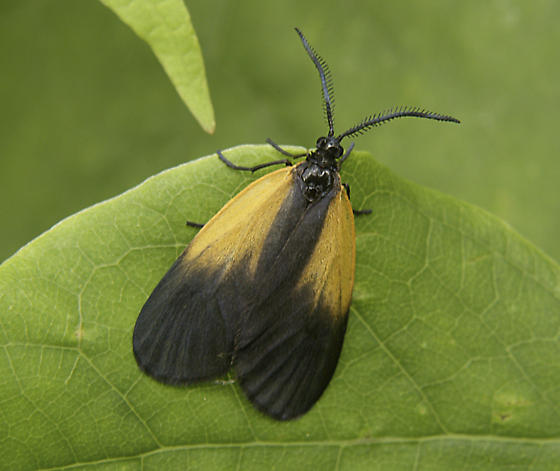 male adult orange-patched smoky moth/Pyromorpha dimidiata - Pyromorpha dimidiata - male