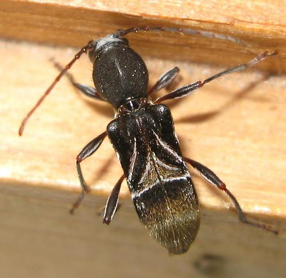 Very odd beetle - Cyrtophorus verrucosus