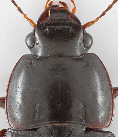 Ground Beetle - Anisodactylus dulcicollis