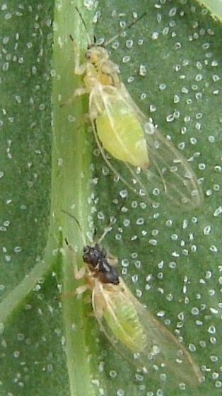 Is this Psyllidae? - Heterotrioza chenopodii