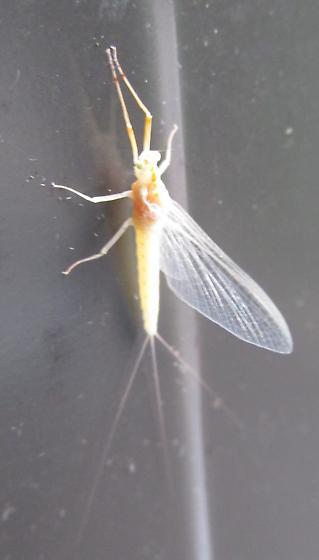 Which mayfly? Genus Anthopotamus - Anthopotamus - female