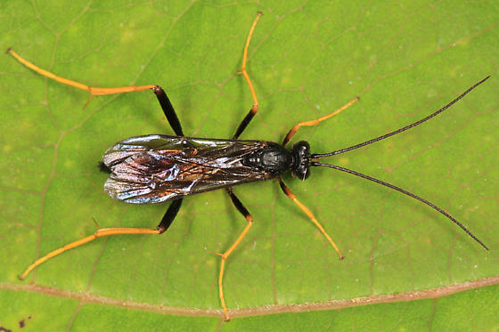 Ichneumon - Exetastes suaveolens - male