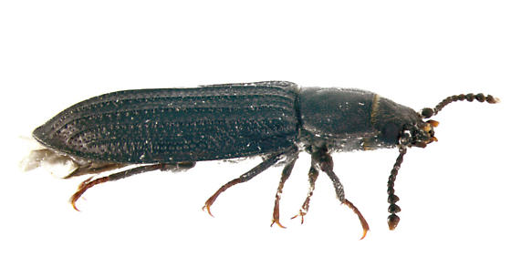 Trogossitidae - Bark-gnawing Beetle, lateral - Grynocharis quadrilineata