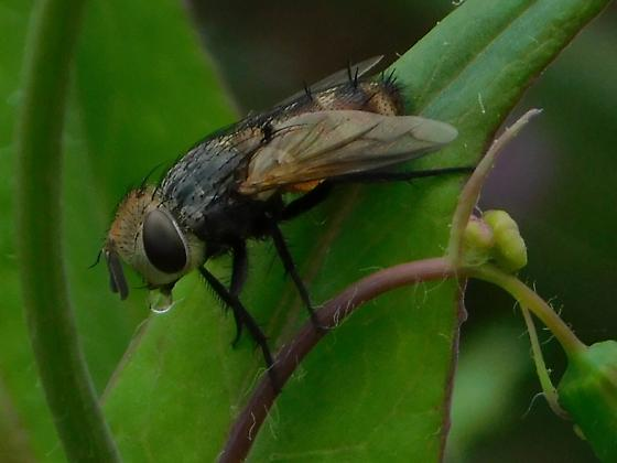 unknown fly - Gonia crassicornis