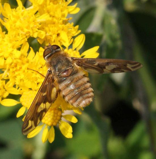 bee fly? - Poecilanthrax willistonii