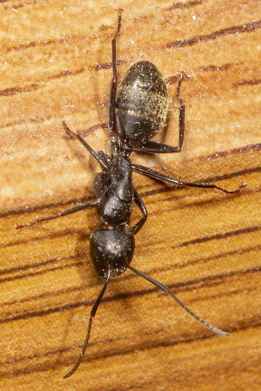 its got nerve - Camponotus pennsylvanicus