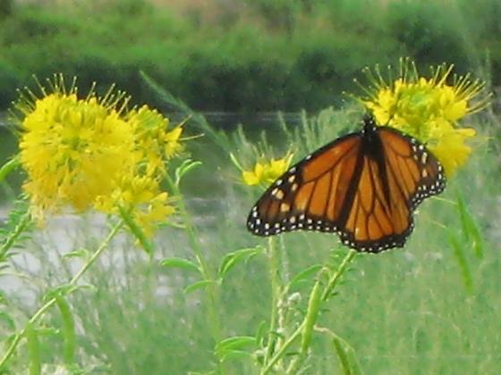 Danaus plexippus - Monarch sighting in WA - Danaus plexippus - male