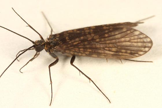Caddisfly - Dolophilodes distinctus