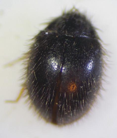 Beetle 2 - Apsectus