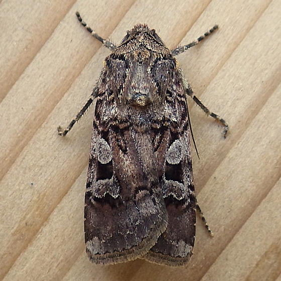 Noctuidae: Euxoa illooet - Euxoa lillooet