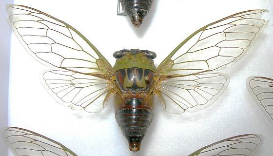 Tibicen pronotalis walkeri (syn. Tibicen walkeri) - Megatibicen pronotalis - male