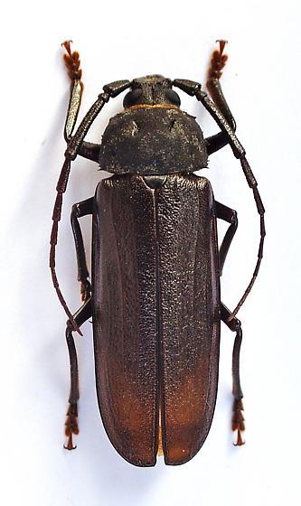 Trichocnemis spiculatus - male