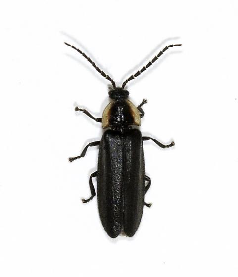Beetles from along the north trail - Pyropyga decipiens