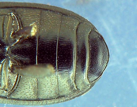 black, ovoid teneb - Opatroides punctulatus