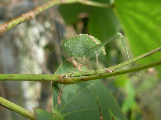 green bug - Microcentrum