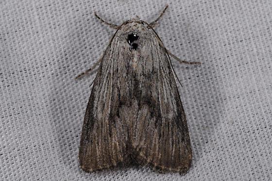 Unknown moth - Catabena lineolata