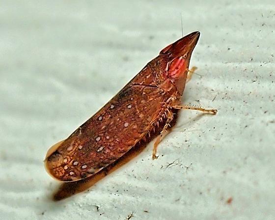 Unknown Hopper - Scaphytopius rubellus