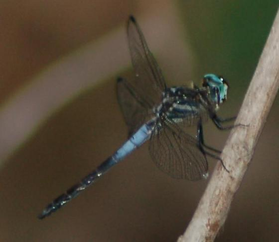 Gray-waisted Skimmer, male, back view - Cannaphila insularis - male