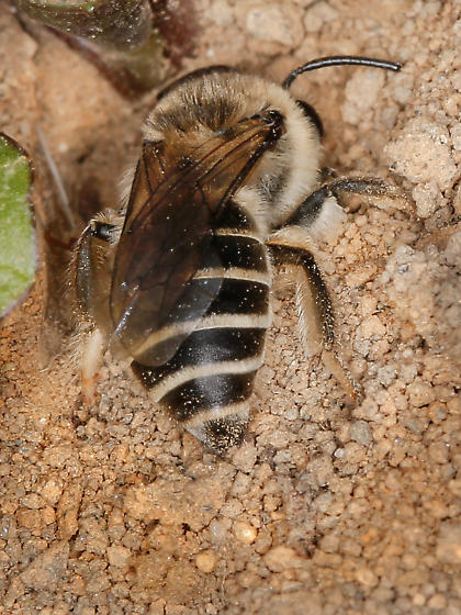 Colletes Bee - Colletes inaequalis