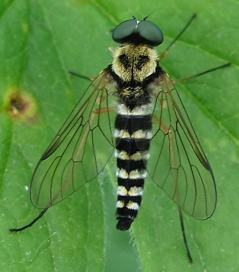 Chrysopilus ornatus? - Chrysopilus ornatus - male