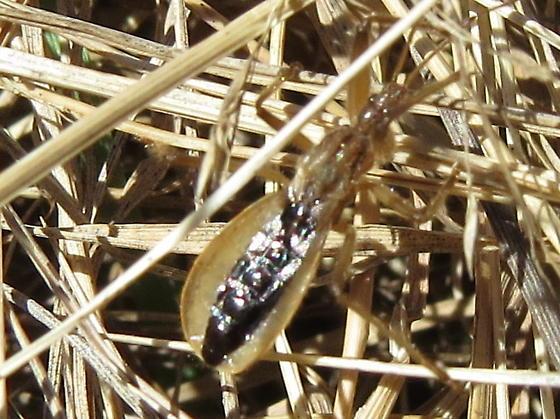 Assassin Bug nymph?? - Fitchia aptera