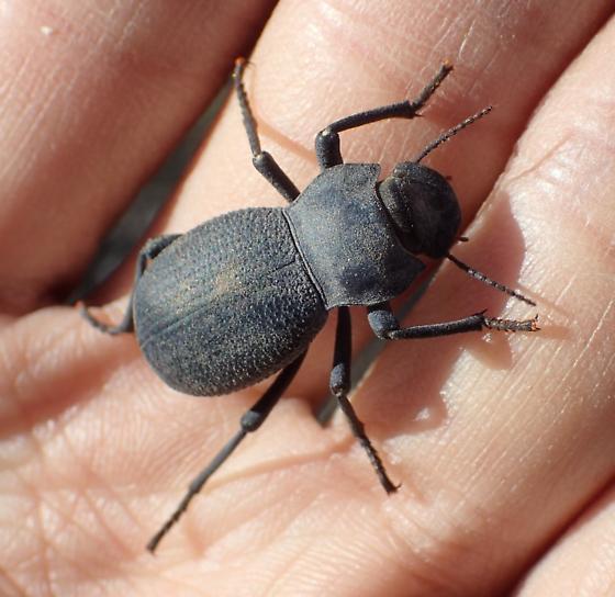 Darkling Beetle - Asbolus papillosus