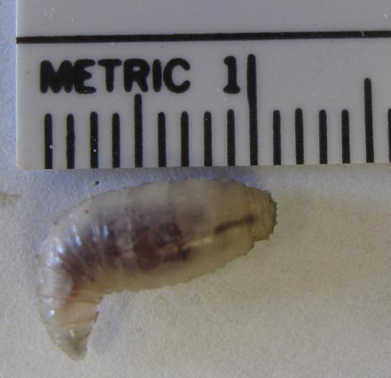 unknown larvae