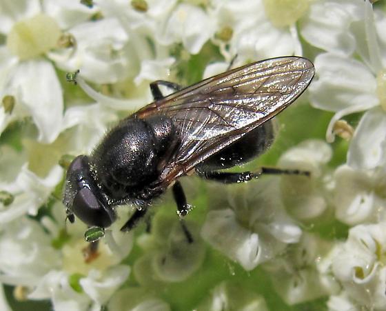 Syrphidae? Eumerus? - Hiatomyia