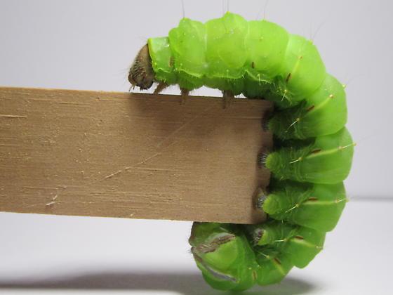 Luna moth caterpillar or Polyphemus moth caterpillar?  - Antheraea polyphemus