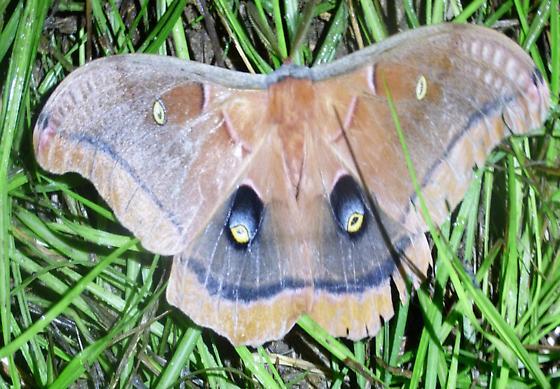 Antheraea Polyphemus Polyphemus Moth - Antheraea polyphemus