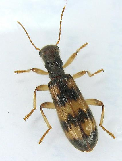 Clerid - Cymatodera undulata