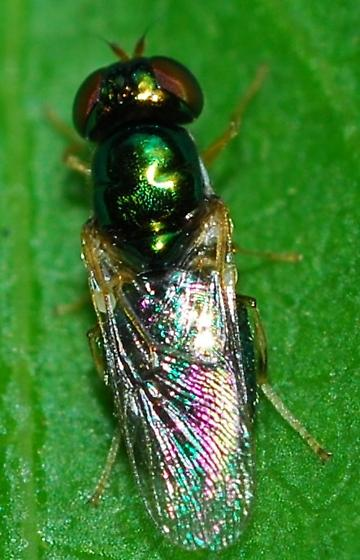 Soldier fly? - Microchrysa flavicornis - female