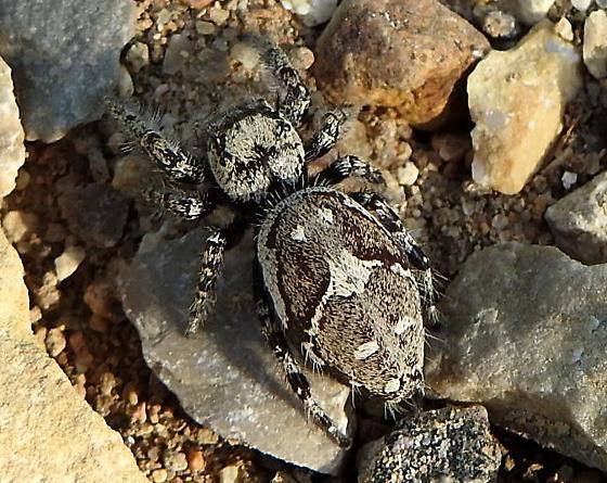 spider - Phidippus carolinensis
