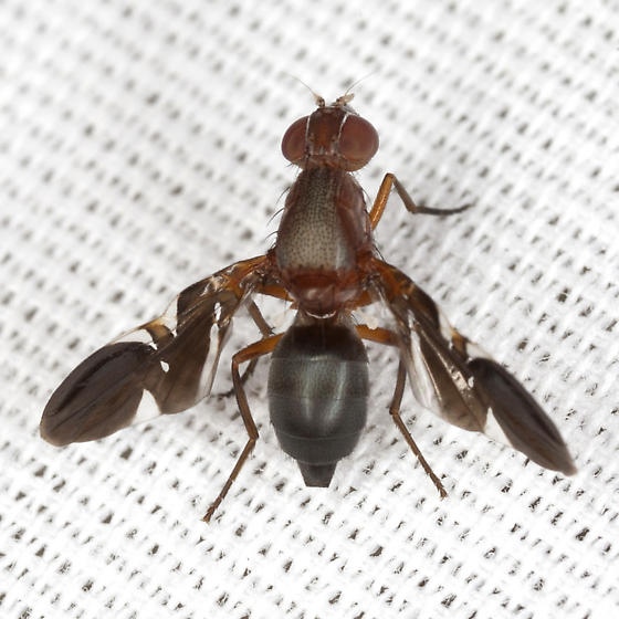 Picture-winged Fly - Delphinia picta - female