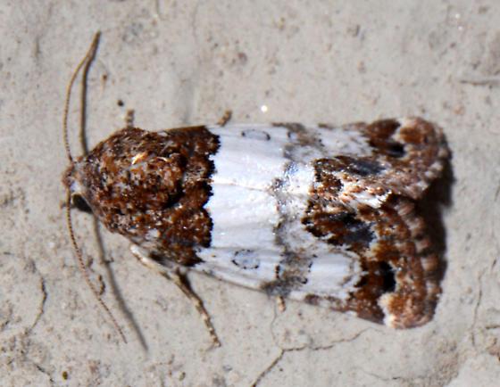 Schinia albafascia- - Schinia albafascia